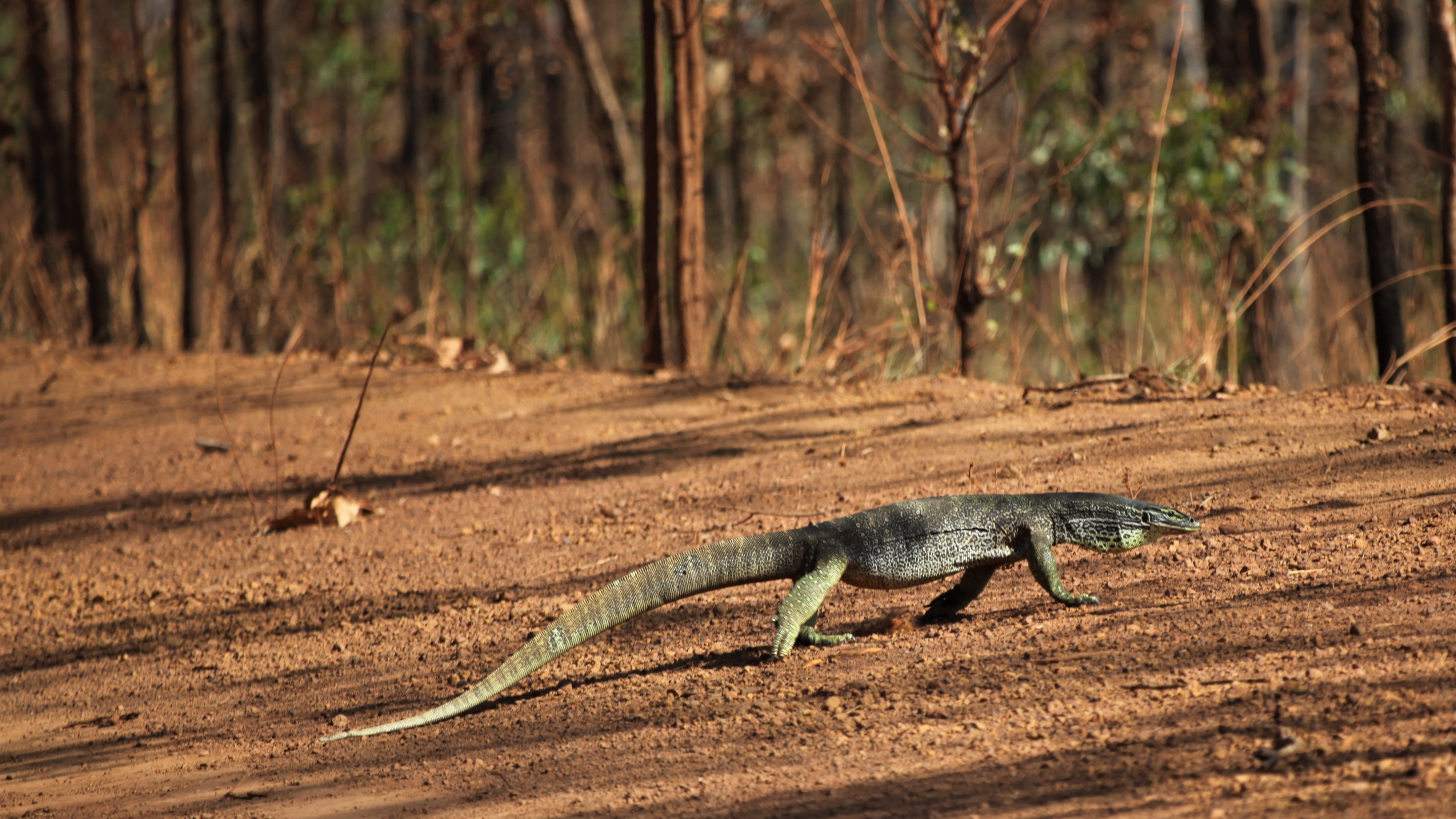 A large goanna on the road to Weipa