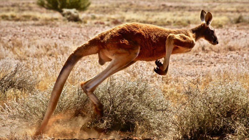 male red kangaroo Outback Queensland